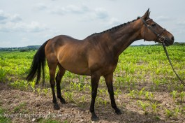 equinePhotography-3