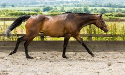 Thoroughbred Horse-2