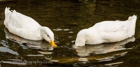 Duck & Dive