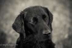 Black labrador_tmphotos@btinternet