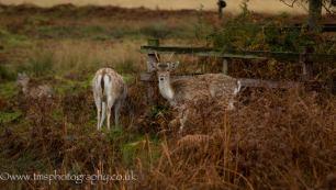 Fallow Deer-2
