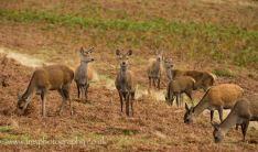 Red Deer Group Bradgate Park