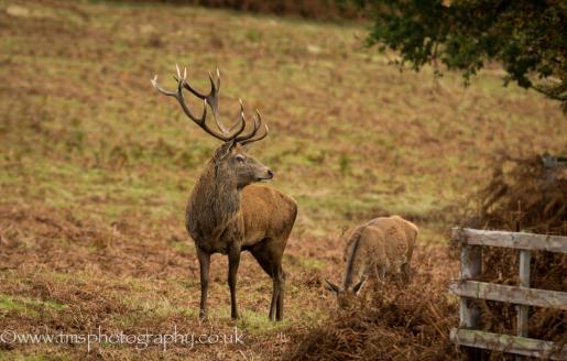 Red Deer Stag_BradgatePark-2