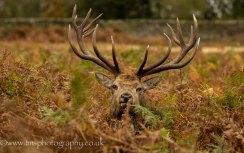 Red Deer Stag_BradgatePark