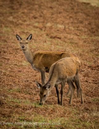 Red Deer_Bradgate park-2