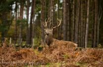 Red Stag-2