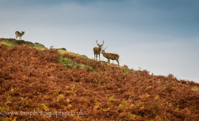 Stags on the hill