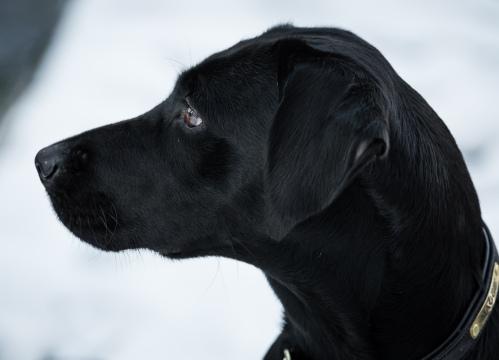 Black_Labrador_CalkeAbbey_tmsphotography-46