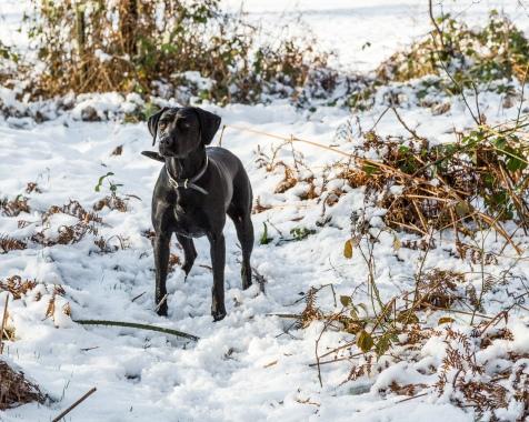 Black_Labrador_CalkeAbbey_tmsphotography-56