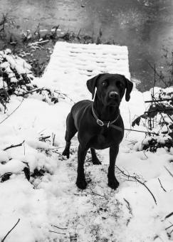 Black_Labrador_CalkeAbbey_tmsphotography-64