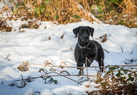 Black_Labrador_CalkeAbbey_tmsphotography-71