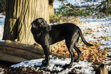 Black_Labrador_CalkeAbbey_tmsphotography-91