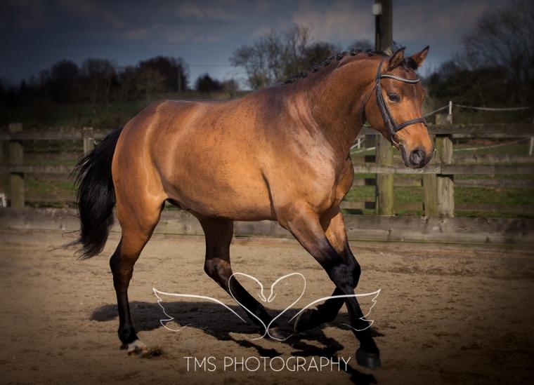 TrakehnerHorse_Equine_photographer_Derbyshire.jpg