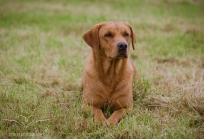 Dog_portrait_Photoshoot_Leicestershire_Labrador (1 of 1)-5