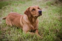 Dog_portrait_Photoshoot_Leicestershire_Labrador (1 of 1)-8