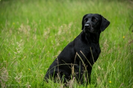 Dog_portrait_Photoshoot_Leicestershire_Labrador (1 of 2)